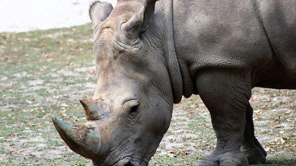 2latka nadziala nosorozec