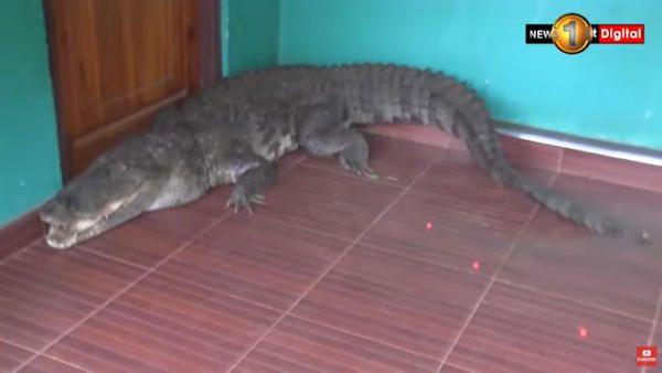 6latka krokodyl