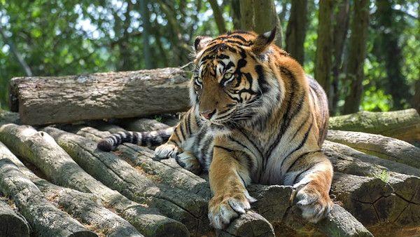 Dziecko zaplecze tygrys