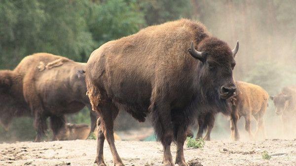 Dziewczyna powietrze bizon